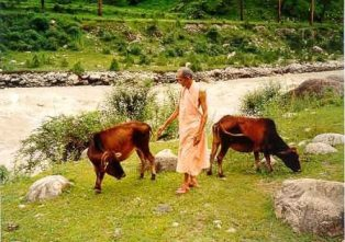 With cows near ganges